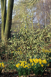 Narcissus 'February Gold' and Ribes sanguineum 'White Icicle' in the woodland garden at Beth Chatto's