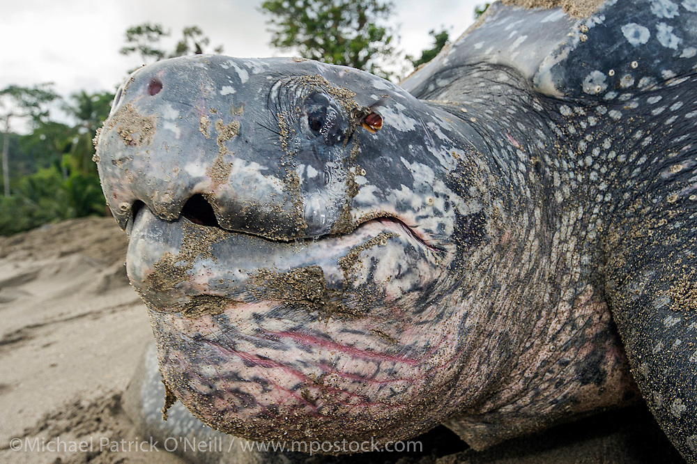 A bee drinks salt excreted from a female Leatherback Sea Turtle, Dermochelys coriacea, eye at dawn on Grand Riviere, Trinidad.