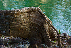 Large tree roots along the banks of the Frio River in the Texas Hill Country