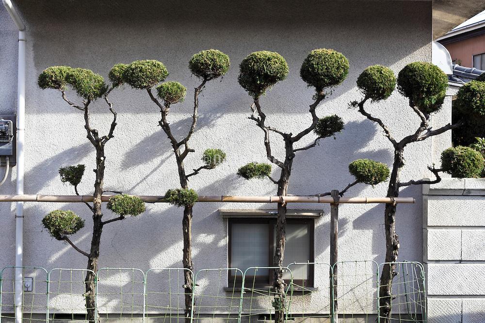 bonsai style trees hedge at the side of house Yokosuka Japan