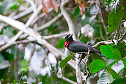 Parauapebas_PA, Brasil...Floresta Nacional de Carajas em Paraupebas, Para. Na foto um passaro...The Carajas National Forest in Paraupebas, Para. In this photo a bird...Foto: JOAO MARCOS ROSA / NITRO
