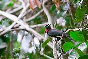 Parauapebas_PA, Brasil...Floresta Nacional de Carajas em Paraupebas, Para. Na foto um passaro...The Carajas National Forest in Paraupebas, Para. In this photo a bird...Foto: JOAO MARCOS ROSA / NITRO