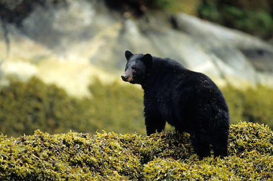 Black Bear, (Ursus americanus) Adult standing in rock weed in tidal area of Tongass Forest. Southeast Alaska.