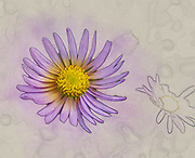 Digitally enhanced image of a closeup of a Purple Daisy Osteospermum the common name African Daisy