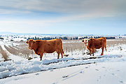 Cows in Snowscape. Photographed in the Golan Heights, Israel