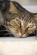 a domestic cat resting