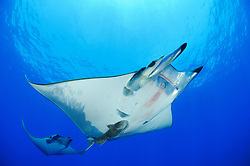 Devil rays, Mobula tarapacana, with shark suckers, remora remora, Princess Alice, Azores, Portugal, Atlantic Ocean