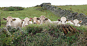Dairy cattle looking over a wall in Cornwall, England, UK