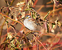 White-throated Sparrow. Image taken with a Nikon D3x camera and 400 mm f/2.8 lens (ISO 320, 400 mm, f/4, 1/1000 sec).