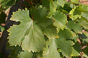 Vine leaf. Chenin Blanc. Vouvray village, Touraine, Loire, France