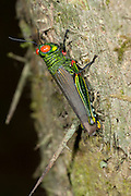 Red Eyed Grasshopper, Coscineuta coxalis, Panama, Central America, Gamboa Reserve, Parque Nacional Soberania, Proctolabine grasshopper