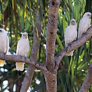 Little Corella (Cacatua sanguinea) Australia.