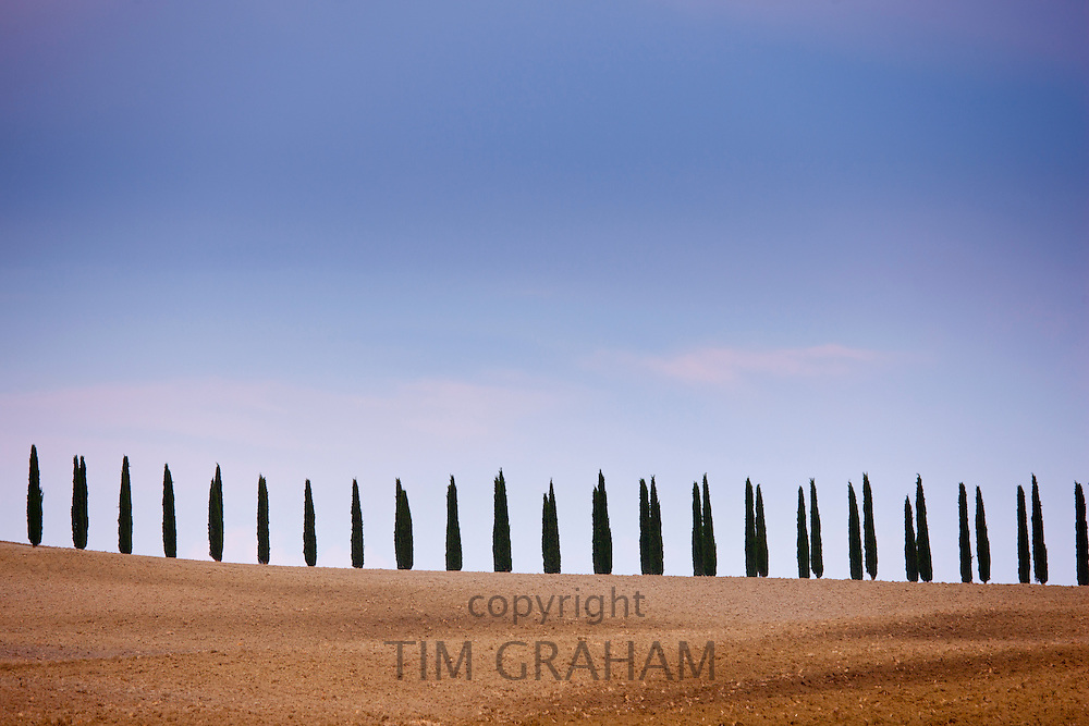 Typical Tuscan cypress trees  in Val D'Orcia, Tuscany, Italy