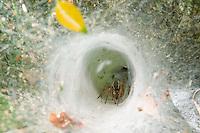 ARANA LOBO (Aglaoctenus lagotis, fam. Lycosidae) EN SU MADRIGUERA DE TELA CON FORMA DE EMBUDO, PARQUE NACIONAL EL PALMAR, ARGENTINA<br /> <br /> Ragno lupo (Aglaoctenus lagotis - fam. Lycosidae) nella propria tana di tela a forma di imbuto, Argentina