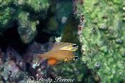 orange-lined cardinalfish, Apogon cyanosoma, female<br /> extrudes eggs and male fertilzes them, prior to taking them into mouth for brooding. Mabul, Sabah, Borneo, Malaysia