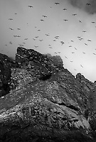 Gannet (Morus bassanus) Colony, St Kilda, Scotland