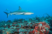 A Caribbean Reef, Carcharhinus perezi, swims offshore Juno Beach, Florida, United States.