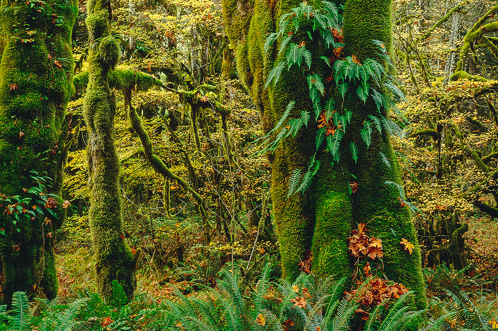 Bigleaf maple trees (Acer macrophyllum) with moss and licorice ferns, sword ferns on ground, overcast light, October, Elwha River Valley, Olympic National Park, Washington, USA