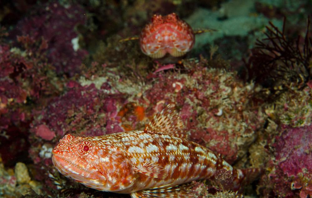 Red Lizardfish, Synodus sp