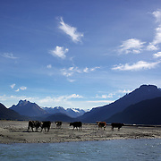 Cattle by the side of Dart River's braided river system in Mount Aspiring National Park. near Glenorchy..Glenorchy is a small settlement nestled in spectacular scenery at the northern end of Lake Wakatipu in New Zealand's south Island. It is approximately 45 kilometres by road or boat from Queenstown, the nearest large town..Glenorchy is a popular tourist spot, close to many tramping tracks. It lies near the borders of Mount Aspiring National Park and Fiordland National Park. The local scenery received worldwide attention when it was used as one of the settings in the first of Peter Jackson's Lord of the Rings films. Glenorchy is the home of  Dart River Jet Safaris. The  unique adventure combines exhilarating wilderness jet boating with unique Funyak inflatable canoes used to explore the magnificent World Heritage wilderness within Mt Aspiring National Park. Professional guides take participants through dramatic landscapes, paddling along channels of the glacier fed Dart River's braided river system as well as along hidden side streams, rock pools and dramatic chasms. Glenorchy, New Zealand. 13th April 2011. Photo Tim Clayton..