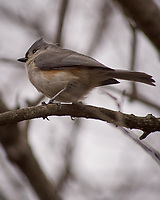Tufted Titmouse. Image taken with a Nikon D2xs camera and 80-400 mm VR telephoto zoom lens.