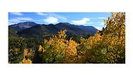 Aspen trees in autumn attire along the road to Pikes Peak, Colorado Springs, Colorado, USA