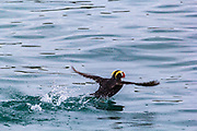 Often puffins seem to run and waddled into the air. Tufted Puffin in Glacier Bay