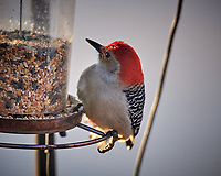Red-bellied Woodpecker at the feeder. Image taken with a Nikon D5 camera and 600 mm f/4 VR telephoto lens (ISO 1250, 600 mm, f/4, 1/640 sec)