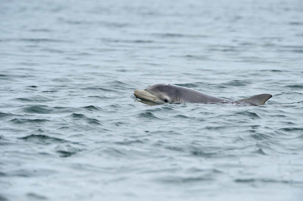 Female Bottle-nosed Dolphin with sea trout,<br /> Tursiops truncatus,<br /> Moray Firth, Nr Inverness, Scotland - May
