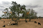 A herd of goats climb an Argan tree to feed upon its leaves and nuts for their oil, Taroudant valley.