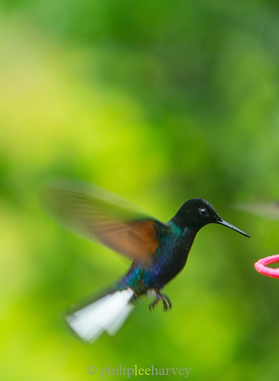 Sparkling Violet-ear (Colibri coruscans) Humming Bird, Mashpi reserve, Ecuador, South America