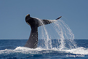 humpback whale, Megaptera novaeangliae, thrashing the ocean with its flukes and caudal peduncle, Kona, Hawaii ( Central Pacific Ocean ); caption must include notice that photo was taken under NMFS research permit #15274