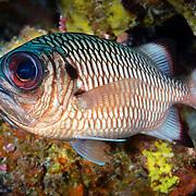 Shadowfin soldierfish (Myripristis adusta) on a coral reef in Palau
