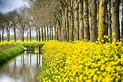 Nederland, the Netherlands, Batenburg, 30-4-2016Veld met bloeiend geel koolzaad  . Een sloot, afwateringssloot, loopt langs de weg, bomenrij  .FOTO: FLIP FRANSSEN/ HH