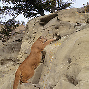 Mountain Lion (Felis concolor) adult scaling a rock cliff in Montana.  Captive Animal