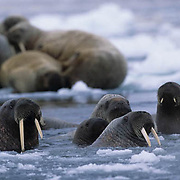Walrus, (Odobenus rosmarus) Group in waters on ice floe off Baffin Island. Canada .