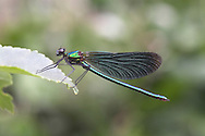 Beautiful Demoiselle - Calopteryx virgo<br /> male