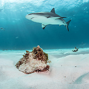 Queen conch (Lobatus gigas) walk along the ocean floor with Caribbean reef sharks (Carcharhinus perezi) in the background. Image made off Grand Bahama Island, Bahamas.