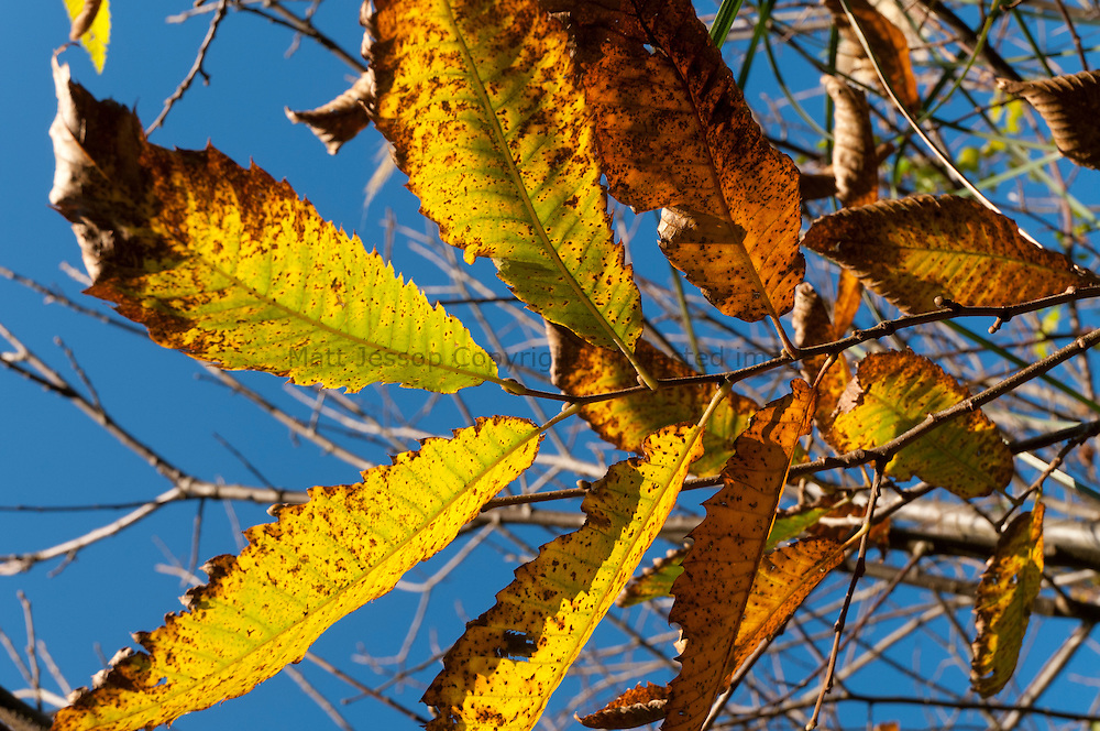 Late Autumn golden leaves on blue