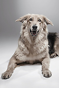 """EXCLUSIVE<br /> How A Dog Shelter Became A Talent Agency<br /> <br /> <br /> In general, people tend to have a negative opinion about dog shelters, for various reasons. When it comes to getting a dog, they usually prefer a purebred breeder or a pet store instead of adopting one. This leads to overcrowded shelters, which are constantly fighting for funding.<br /> Knowing they can't rely on people's voluntary donations alone, K9Friends decided to let their most important assets earn these donations in style, by starring in commercials. The Dubai-based dog shelter became a canine talent agency, where each dog available for casting has its own professional look book, Andrei Daniluc from the shelter said  """"So far they have been picked for print ads. They appeared in Viva Magazine, posed for Freedom Pizza posters, Pets Delight dog food, etc. But the campaign aimed to bring visibility to the shelter. You can foster a dog for a couple of weeks, take it for the weekend so they are like a part time companion you can benefit from in exchange for a donation. People can also adopt, of course, which was our ultimate goal :) So most of these dogs are already part of loving families.""""<br /> <br /> Photo Shows: Namasti<br /> DATE OF BIRTH: APRIL 2014<br /> GENDER:FEMALE<br /> SIZE:LARGE<br /> ©K9 Friends/Saatchi&Saatchi/Exclusivepix Media"""