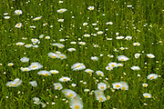Field of common or oxeye daisy (Leucanthemum vulgare or Chrysanthemum leucanthemum) flowers<br />Whiteshell Provincial Park<br />Manitoba<br />Canada