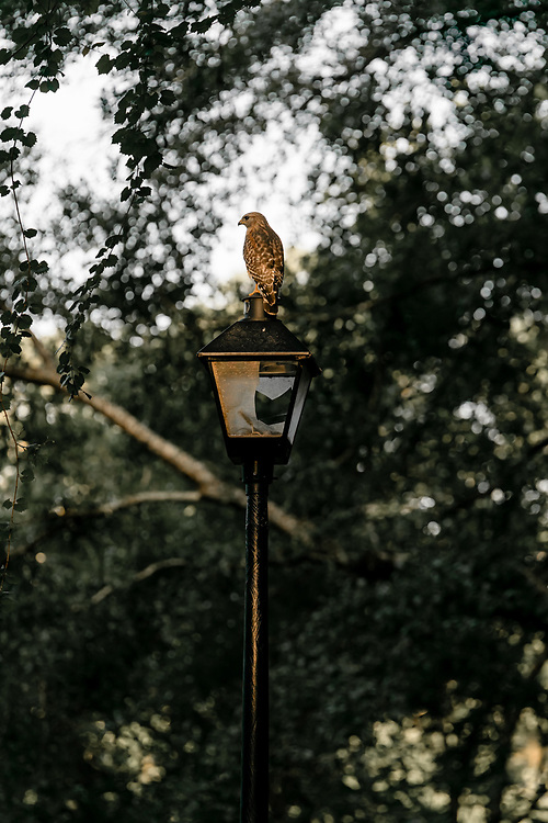 USA,Vereinigte Staaten von Amerika, Florida, Tallahassee, Buteo lineatus, A read shouldered hawk sits on a broken street light,  United States of America