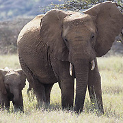 African Elephant, (Loxodonta africana)  Mother and baby. Kenya, Africa.