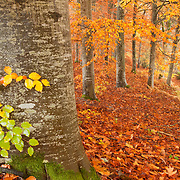 Beech trees in autumn colors with leaves on the ground and one big tree in the foreground
