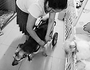 Sara Moran, founder of the Milagros Perrunos shelter for disabled dogs, affixes Huellitas to her wheelchair.