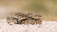 Western diamondback rattlesnake coiled up and ready to strike