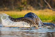 An African elephant (Loxodonta africana) playing in a river in the Okavango Delta, Okavango Delta, Botswana, Africa