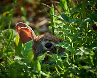 Harvey Jr Hiding in the Tall Grass.  Image taken with a Fuji X-T2 camera and 100-400 mm OIS telephoto zoom lens (ISO 200, 400 mm, f/5.6, 1/210 sec)