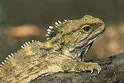 Tuatara<br />Sphenodon punctatus<br />NEW ZEALAND