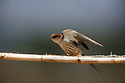 Greater Striped Swallow wing stretch, Hirundo cucullata, Paarl, Western Cape, South Africa